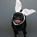 Easter-pug