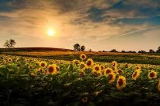 Sunflower camping